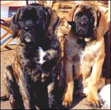 Mastiff Puppies Pasha and Dar welcome you to Old School Mastiffs!